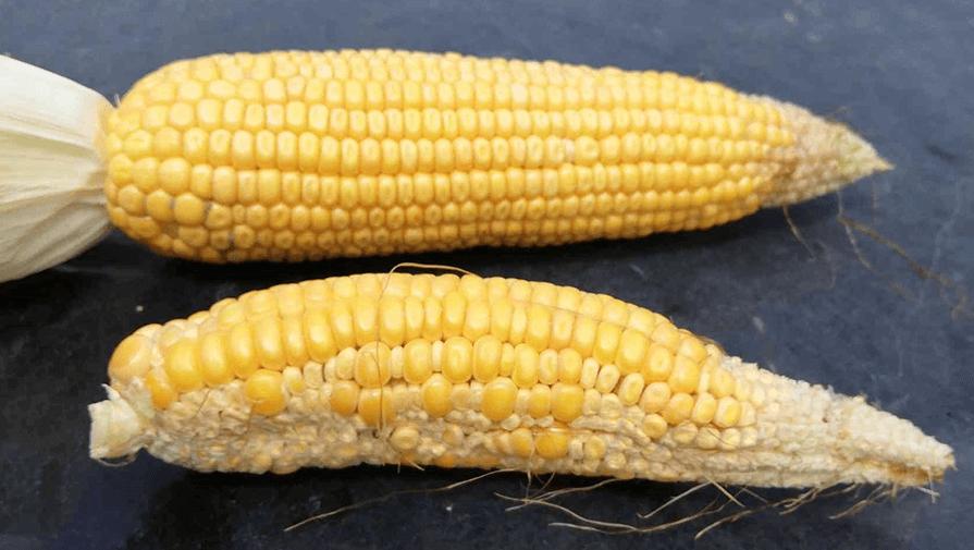 резултати от топлинен стрес при царевицата